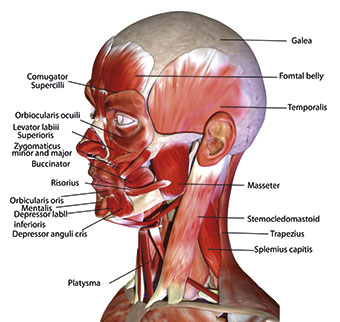 Muscles of the face including the masticatory muscles
